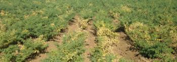 Alfalfa mosaic virus