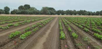 2015 planting of the UC Haskell - UC 92 recombinant inbred population<br> Date of planting: May 4-5, 2015<br> Date photo taken: June 9, 2015
