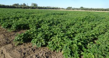 2014 planting of the UC Haskell - UC 92 recombinant inbred population<br>Date of planting: May 21, 2014 <br>Date photo taken: August 13, 2014