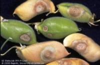 Figure 2. Ascochyta blight on garbanzo bean pods.